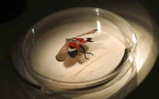 An adult spotted lanternfly in a dish under a microscope at Conrad Weiser High School